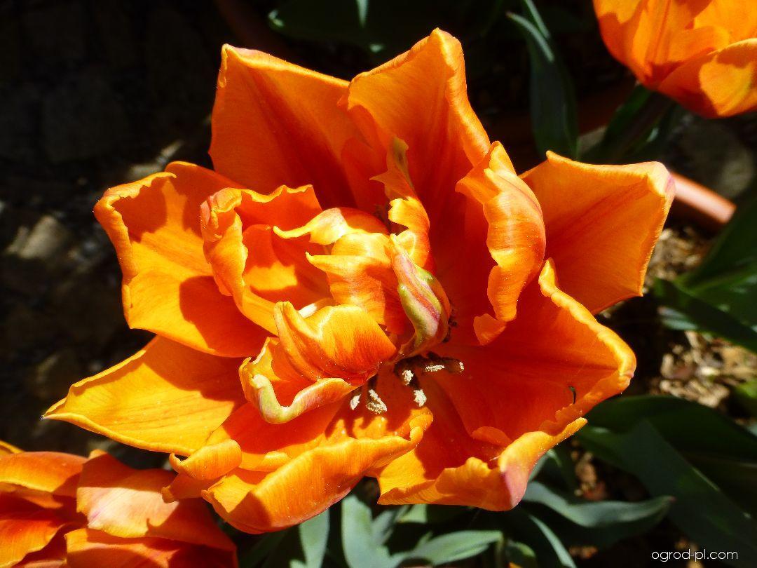 Tulipán Orange Princess - květ (Tulipa x hybrida)