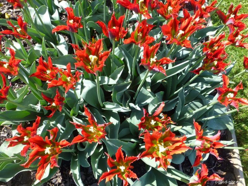 Tulipan - Tulipa Green Valley