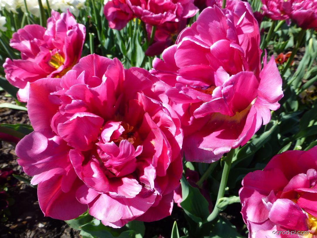Tulipan - Tulipa Margarita