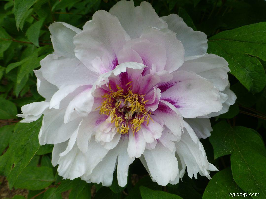 Piwonia drzewiasta - Paeonia suffruticosa Blanche de His