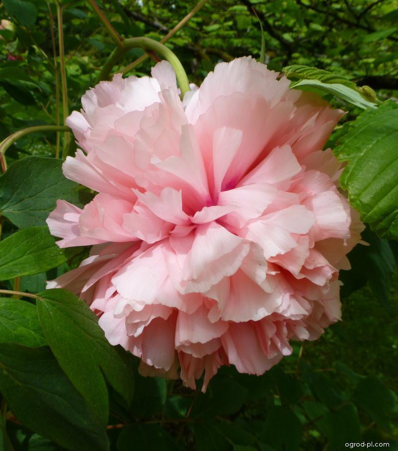 Piwonia drzewiasta - Paeonia suffruticosa Comtesse de Tuder
