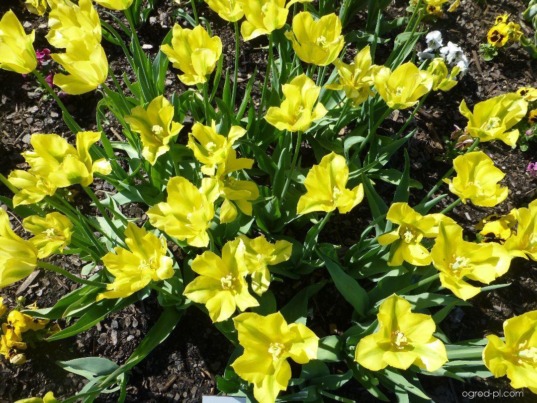 Tulipan - Tulipa Yellow Spring Green