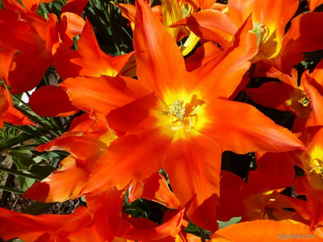 Tulipan - Tulipa Lily Fire