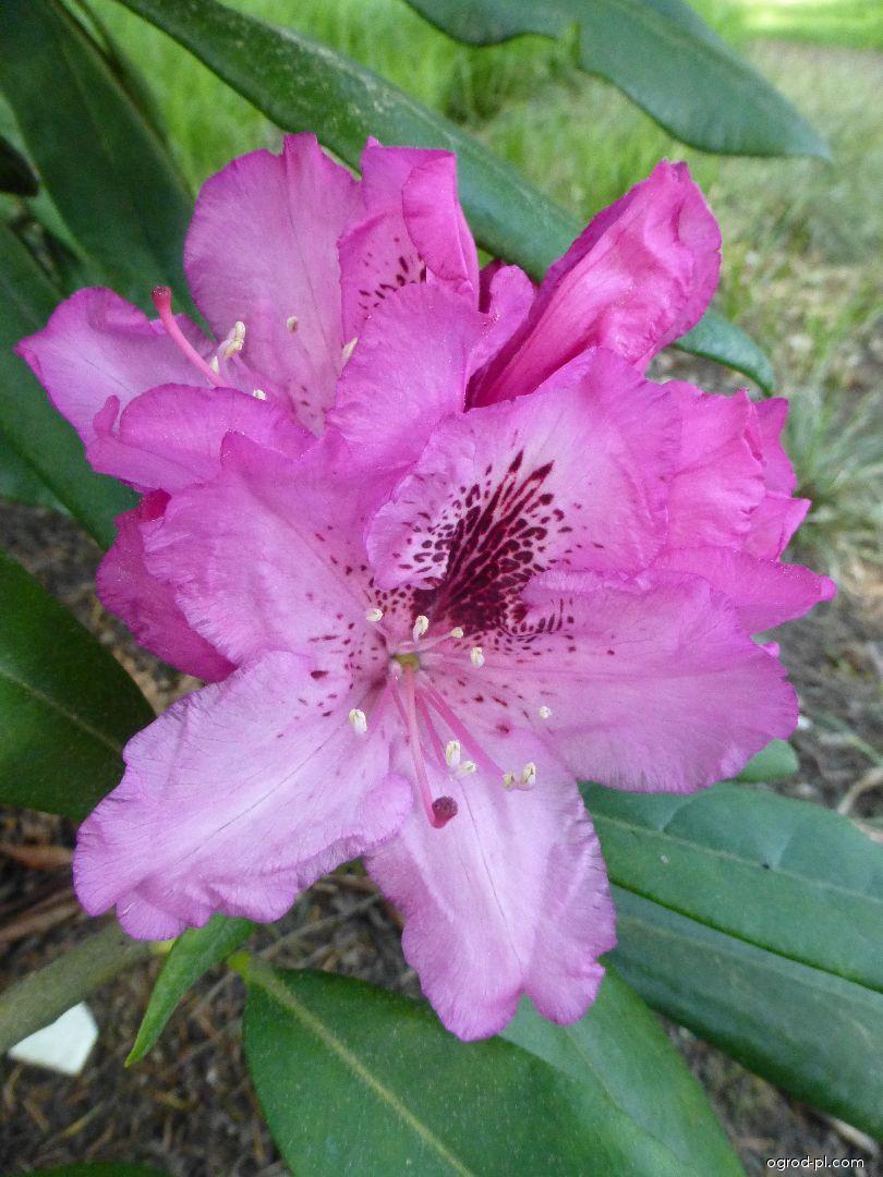 Pěnišník Göteborg - květ (Rhododendron)