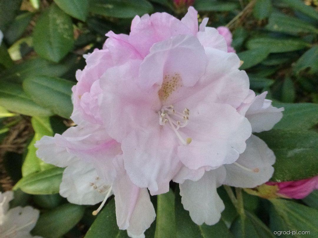 Pěnišník jakutský Silver Lady - květ (Rhododendron yakushimanum)