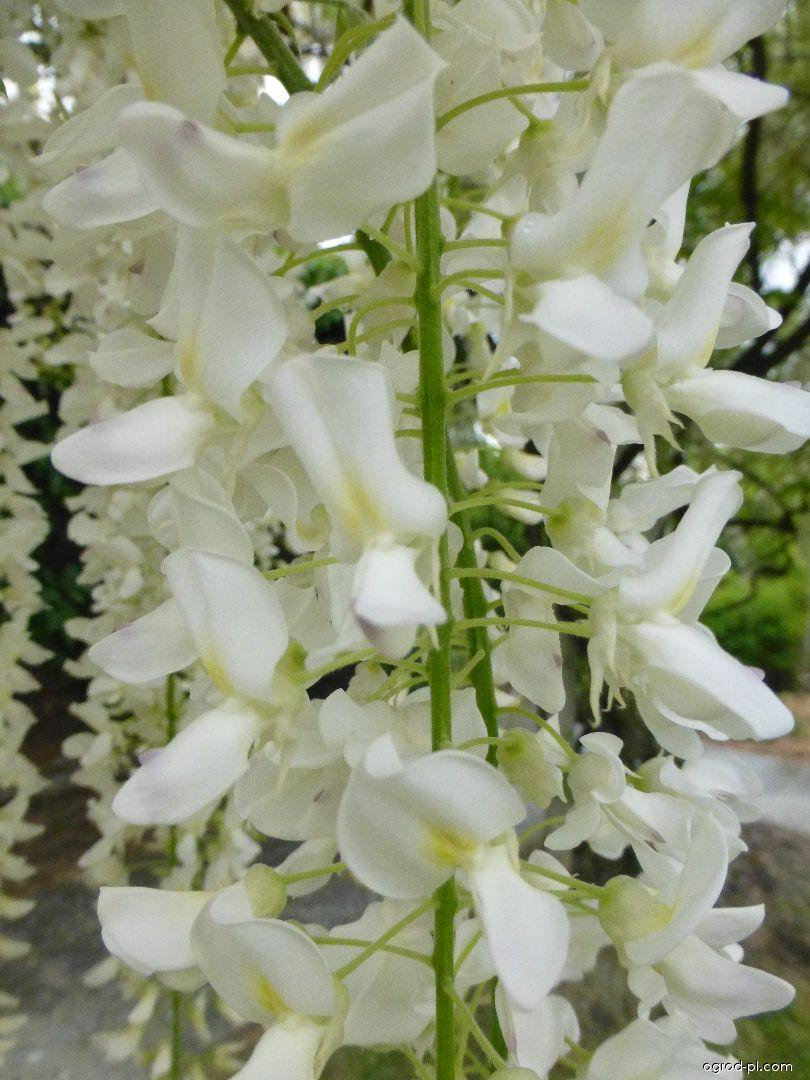 Glicynia kwiecista - Wisteria floribunda Longissima Alba