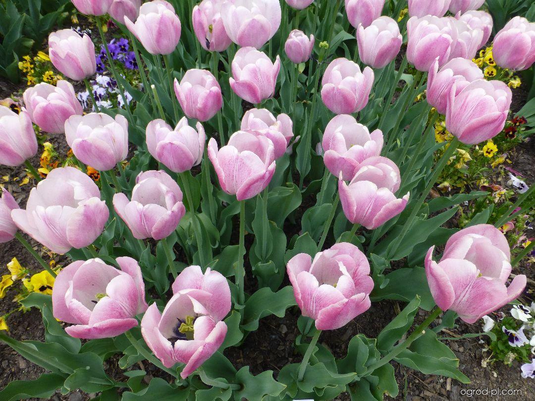 Tulipan - Tulipa Jumbo Beauty