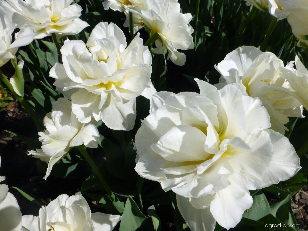 Tulipan - Tulipa Global Desire