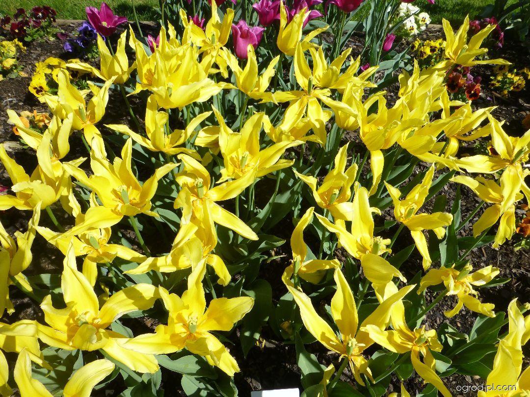 Tulipán Seatle (Tulipa x hybrida)