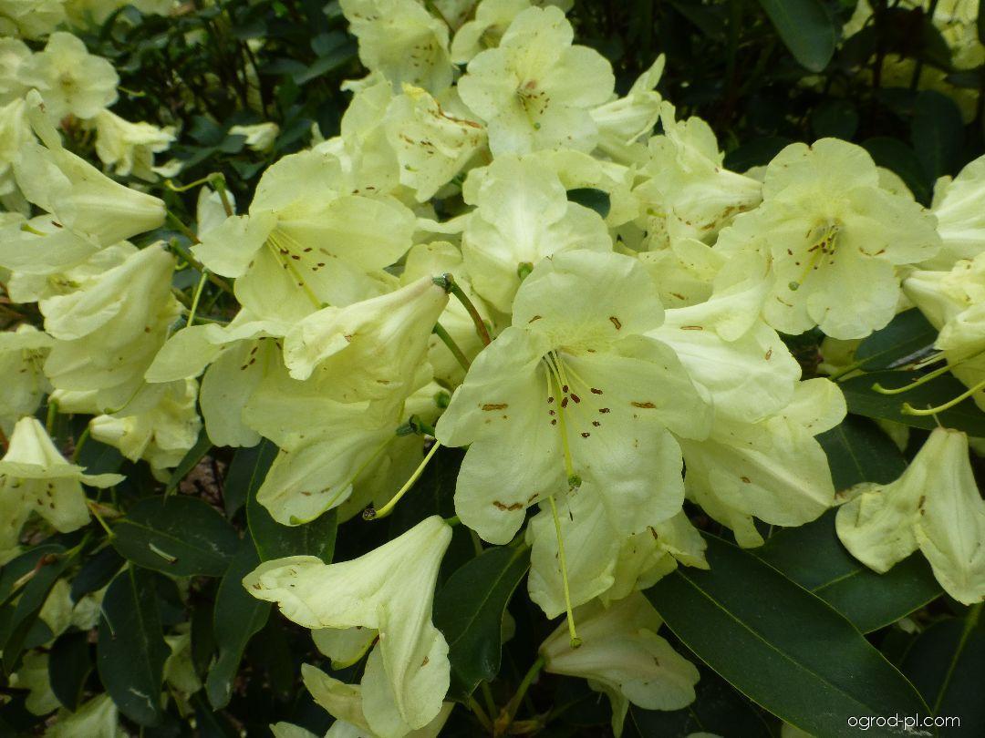 Pěnišník Stadt Westerstede (Rhododendron)