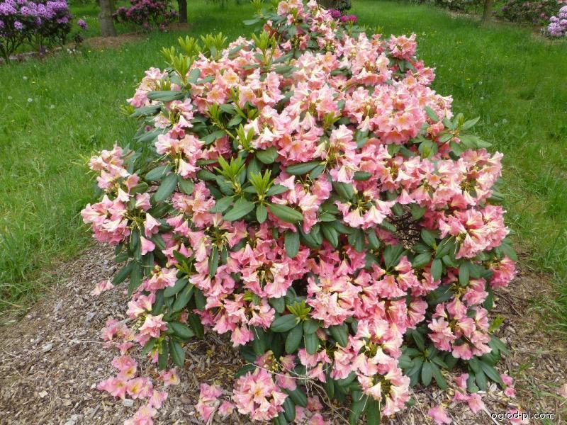 Azalia wielkokwiatowa - Rhododendron Dolcemente