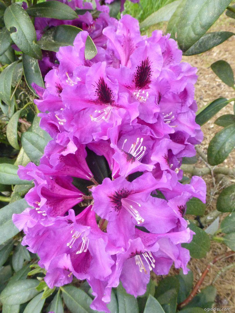 Azalia wielkokwiatowa - Rhododendron Rasputin