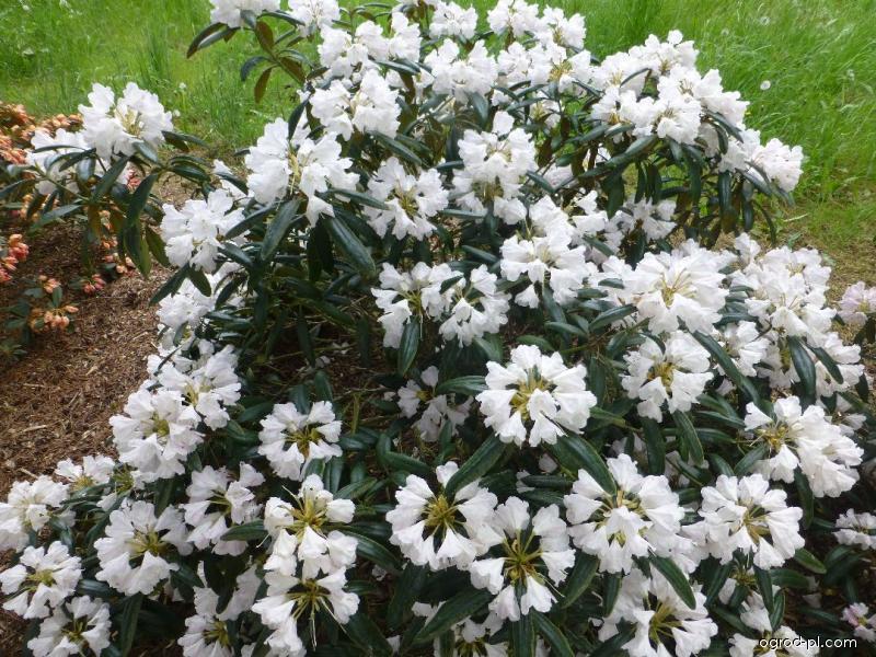 Pěnišník jakutský Yaku Queen (Rhododendron yakushimanum)