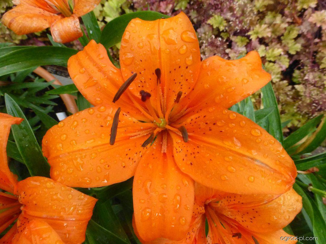 Lilia - Lilium x hybridum Orange Pixie
