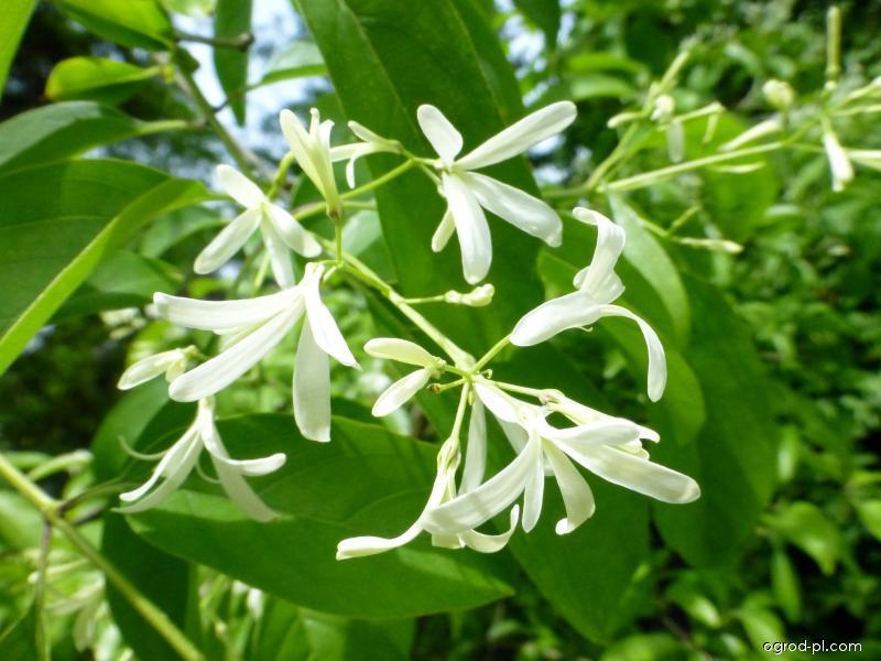Bělas uťatý - větévka s květy (Chionanthus retusus)