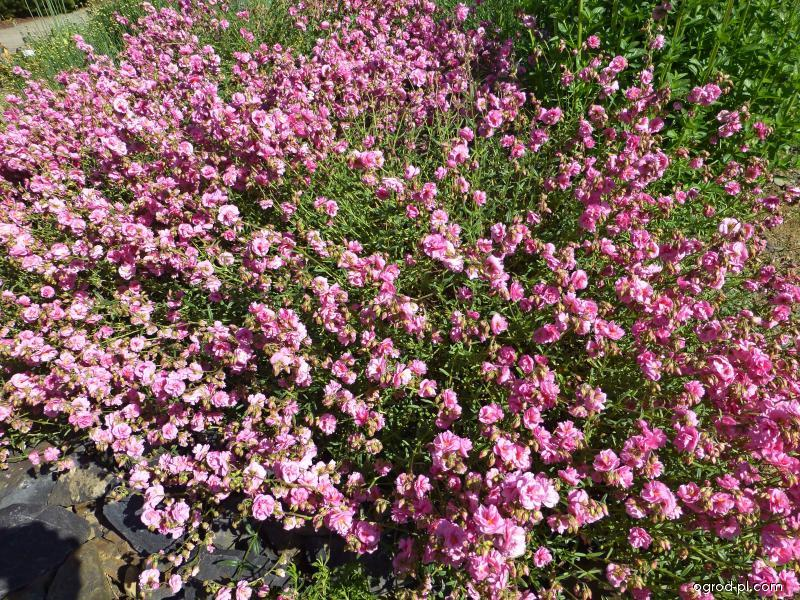 Devaterník Annabel (Helianthemum hybridum)
