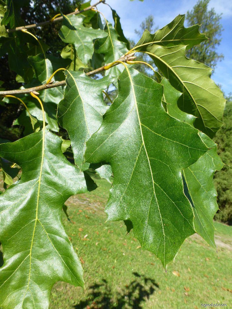 Dąb barwierski - Quercus velutina Albertsii