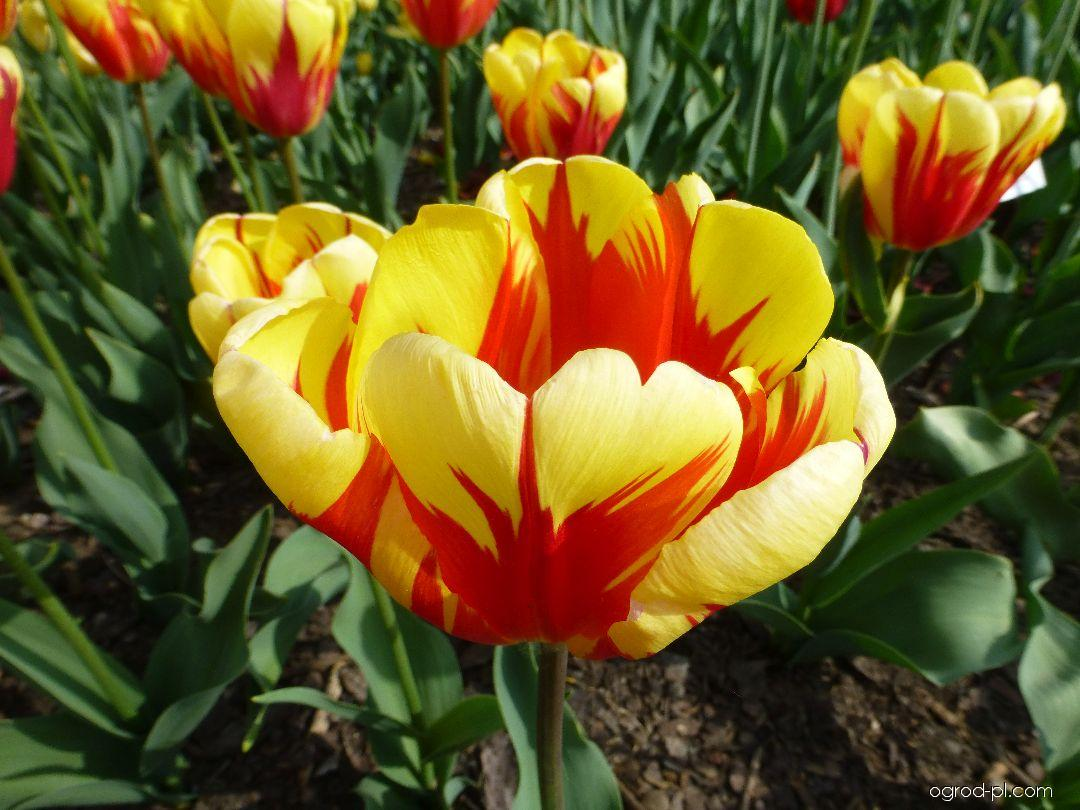 Tulipan - Tulipa Holland Quenn