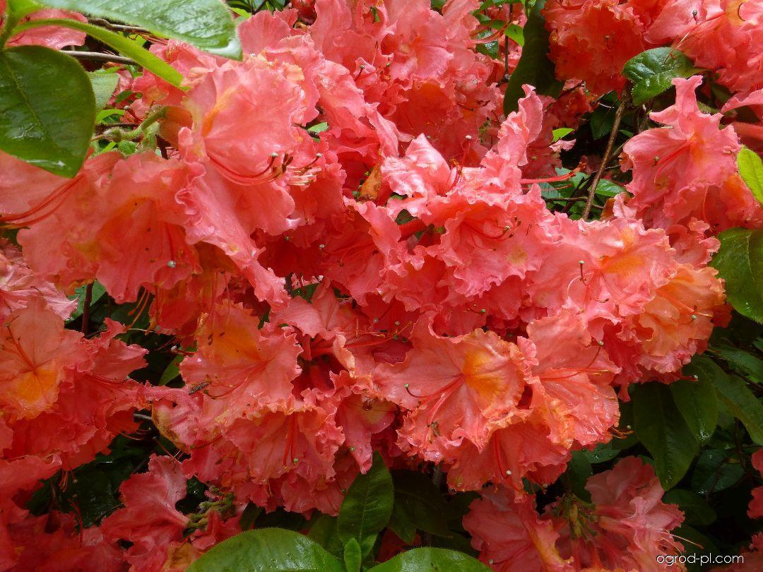 Różanecznik - Rhododendron Sarina