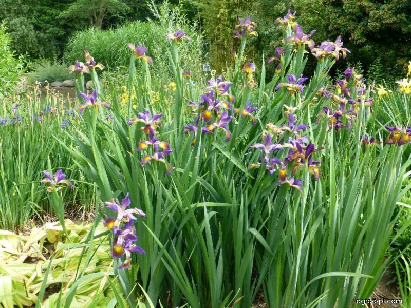 Kosatec zvrhlý Modrá paleta (Iris spuria)