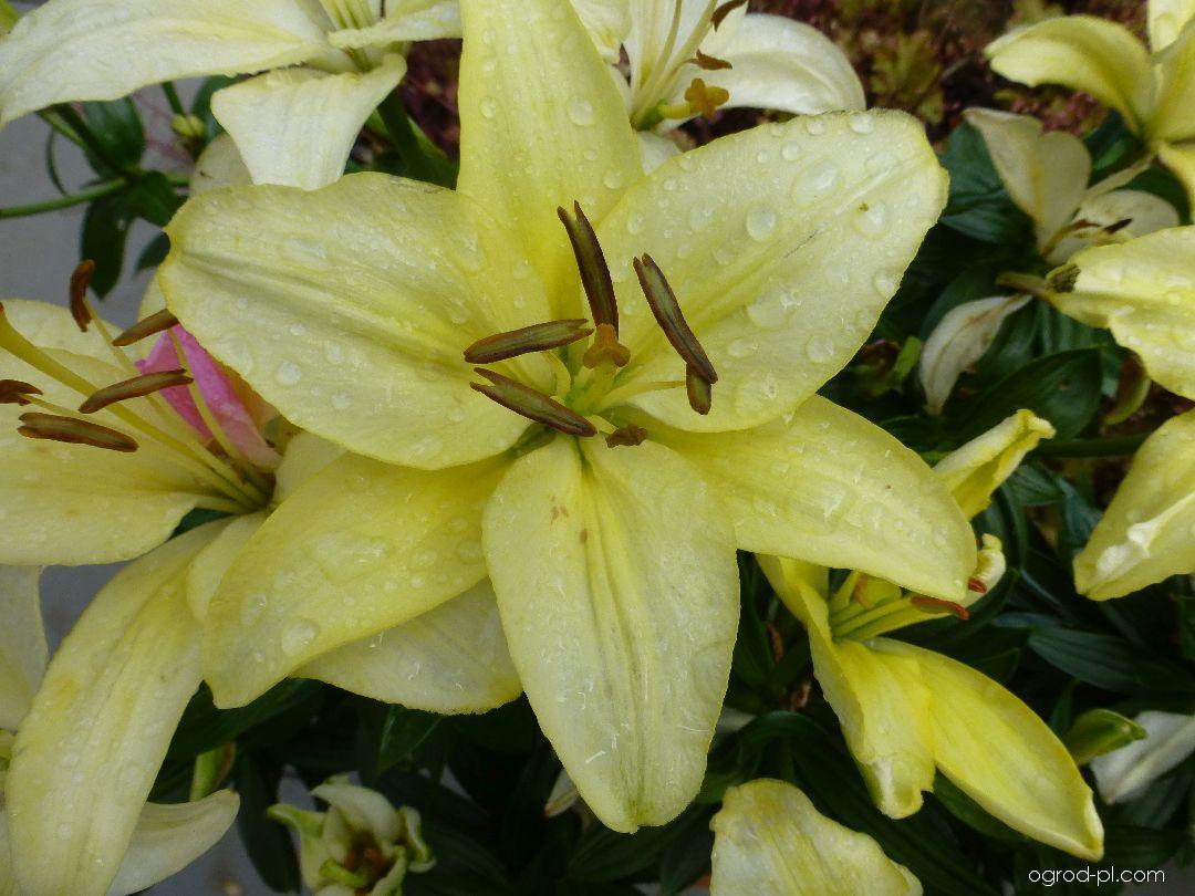 Lilia - Lilium x hybridum Flevo White