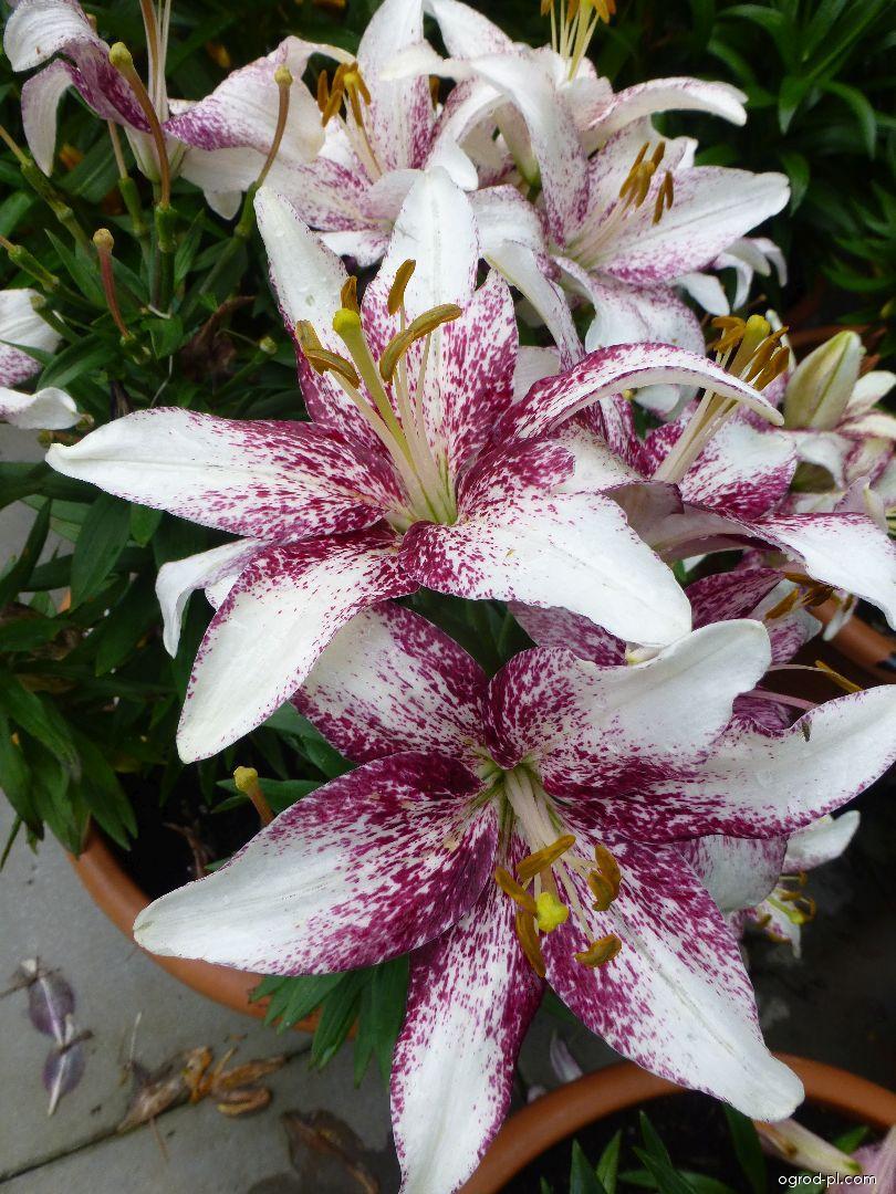 Lilie Crossover Asijské hybridy nízké (Lilium x hybridum)