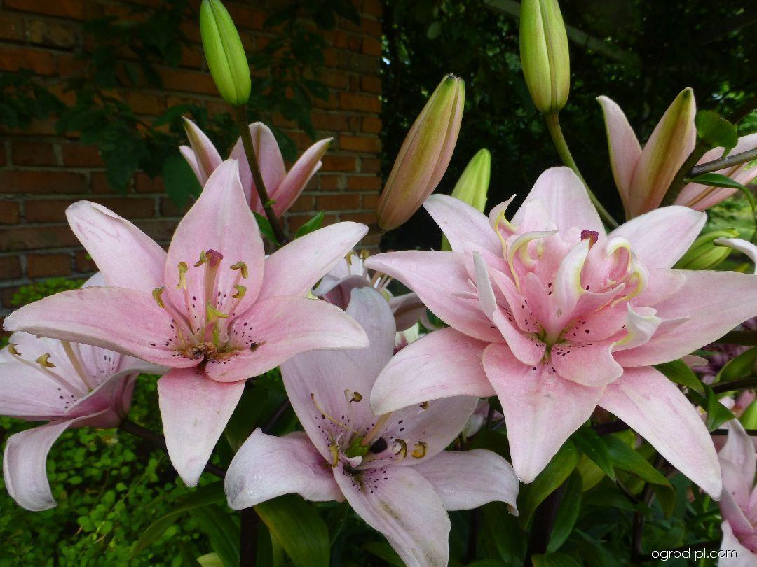 Lilia - Lilium x hybridum Elodie