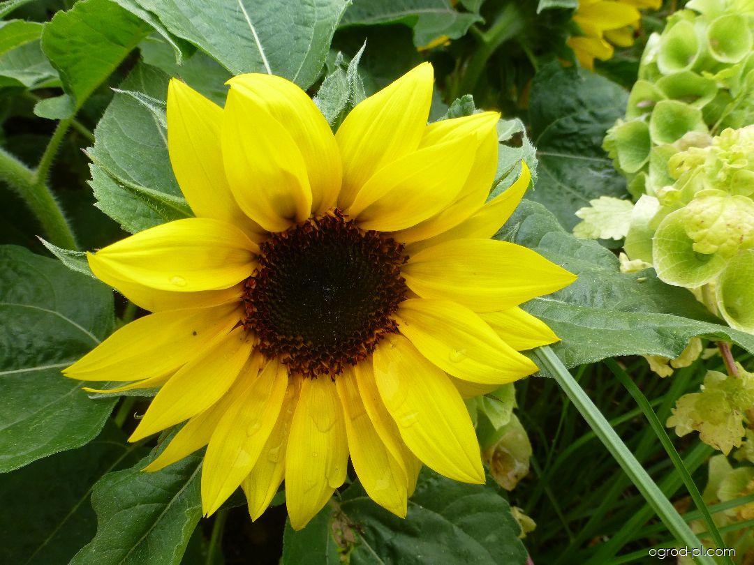 Slunečnice roční Merida Gold - květ (Helianthus annuus)