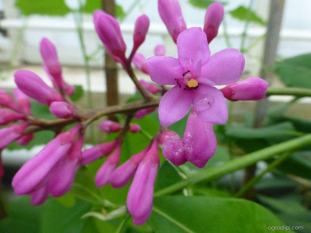 Almeidea - květ (Almeidea rubra)
