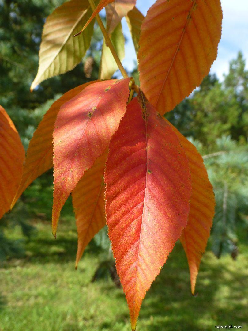 Jírovec žlutý - podzimní list (Aesculus flava)