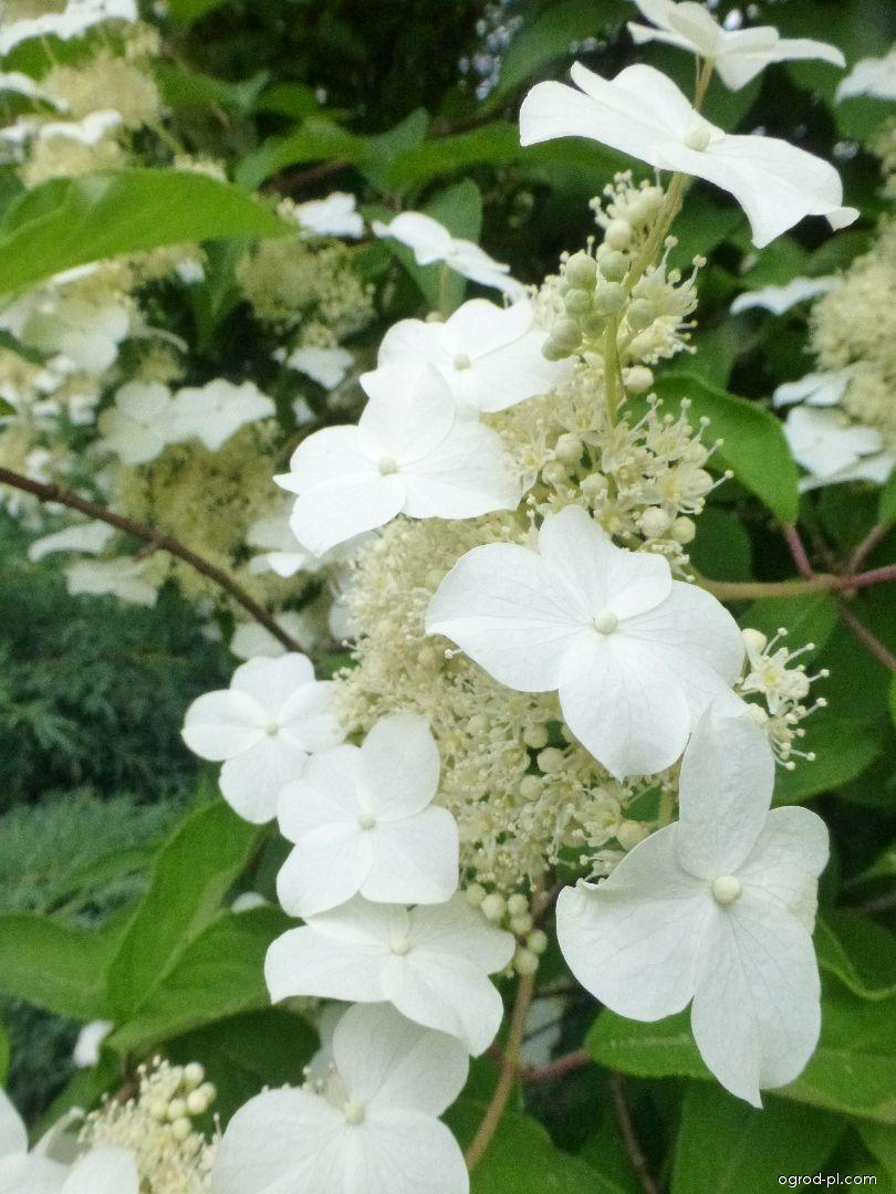 Hortensja krzewiasta - Hydrangea arborescens Annabelle