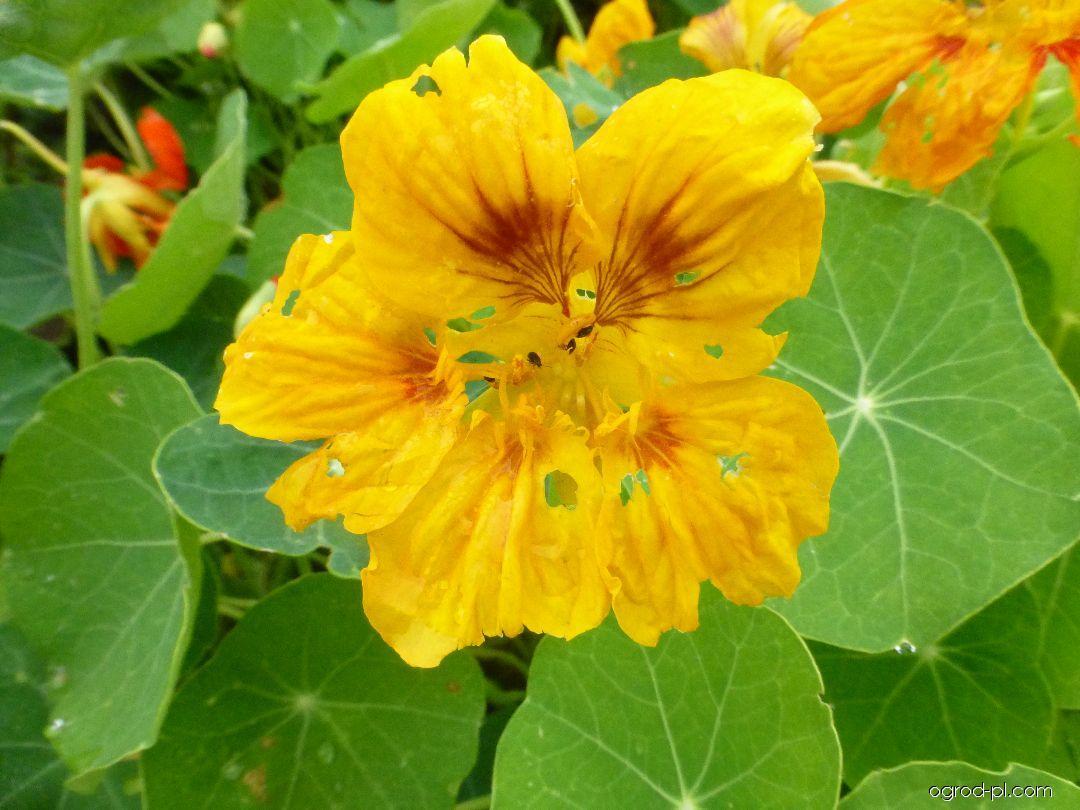 Lichořeřišnice větší - květ (Tropaeolum majus)