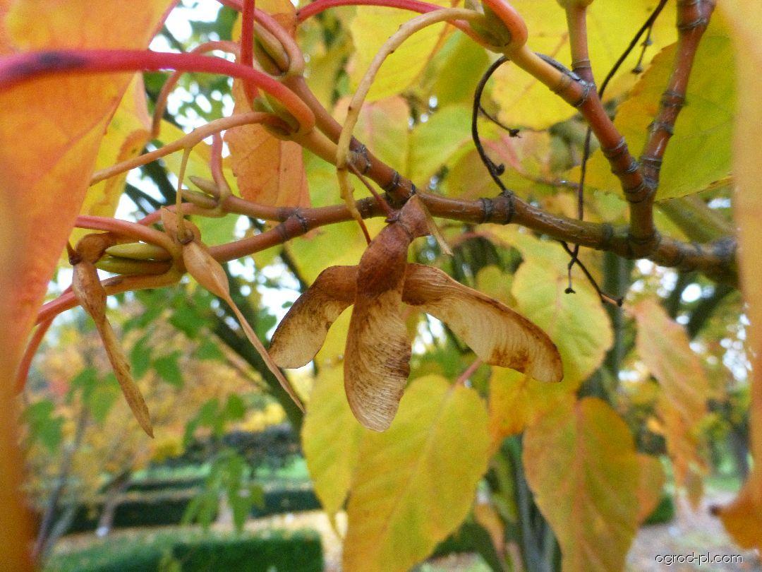 Javor Davidův Horizontale - větévka s plody (Acer davidii)