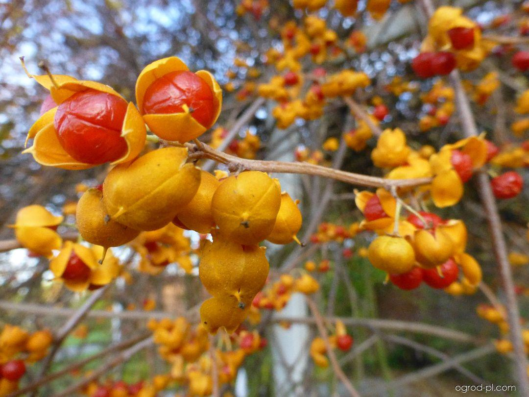 Zimokeř popínavý Diana - větévka se zralými plody (Celastrus scandens)