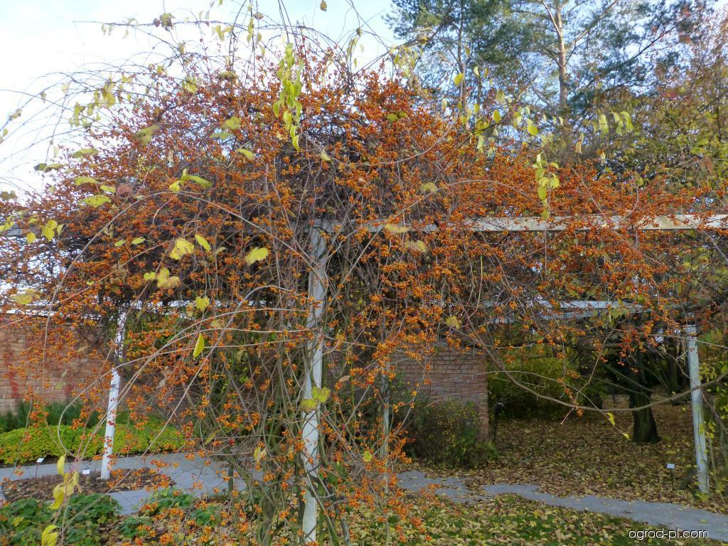 Zimokeř popínavý Diana - habitus se zralými plody (Celastrus scandens)