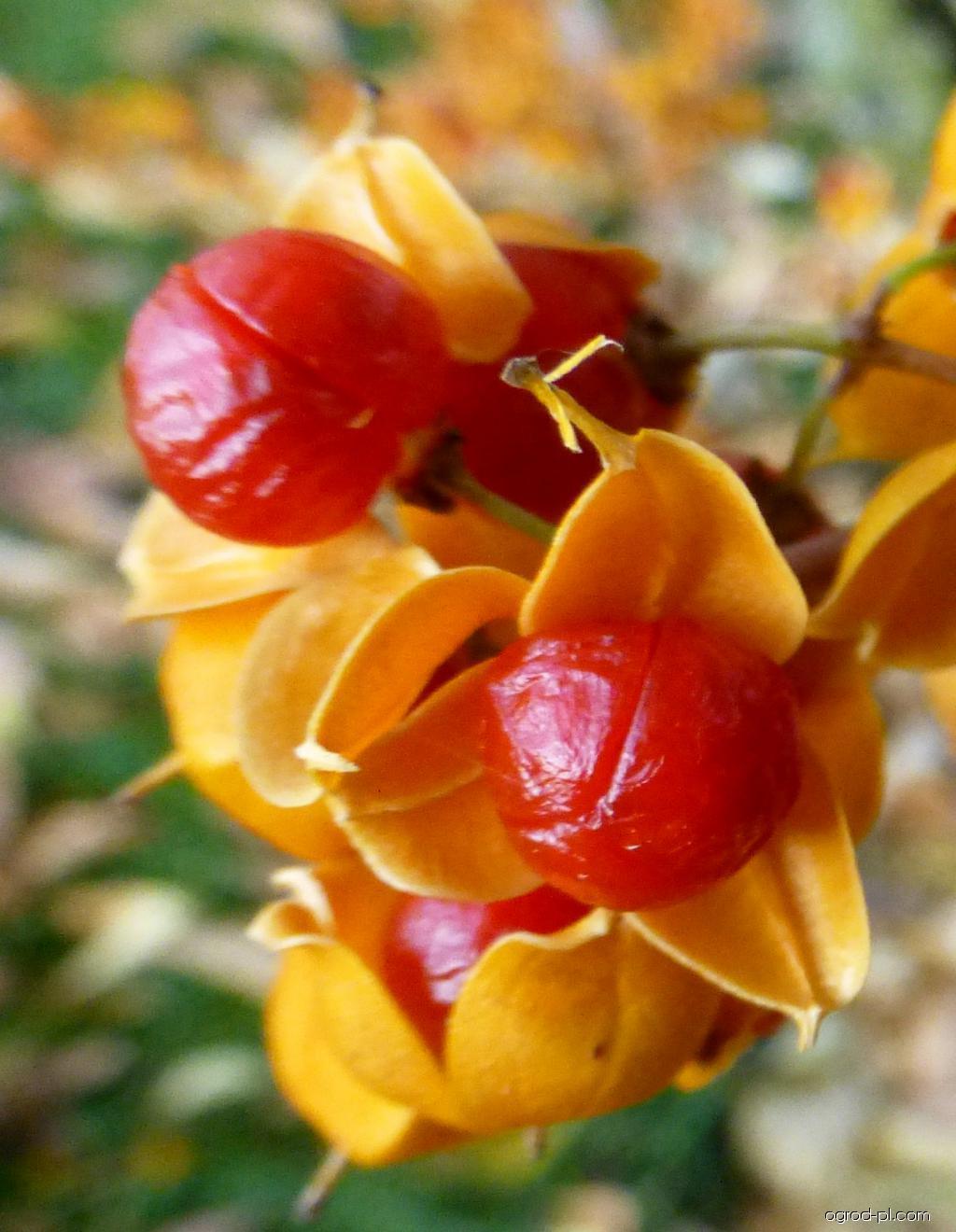Zimokeř popínavý Diana - zralé plody (Celastrus scandens)