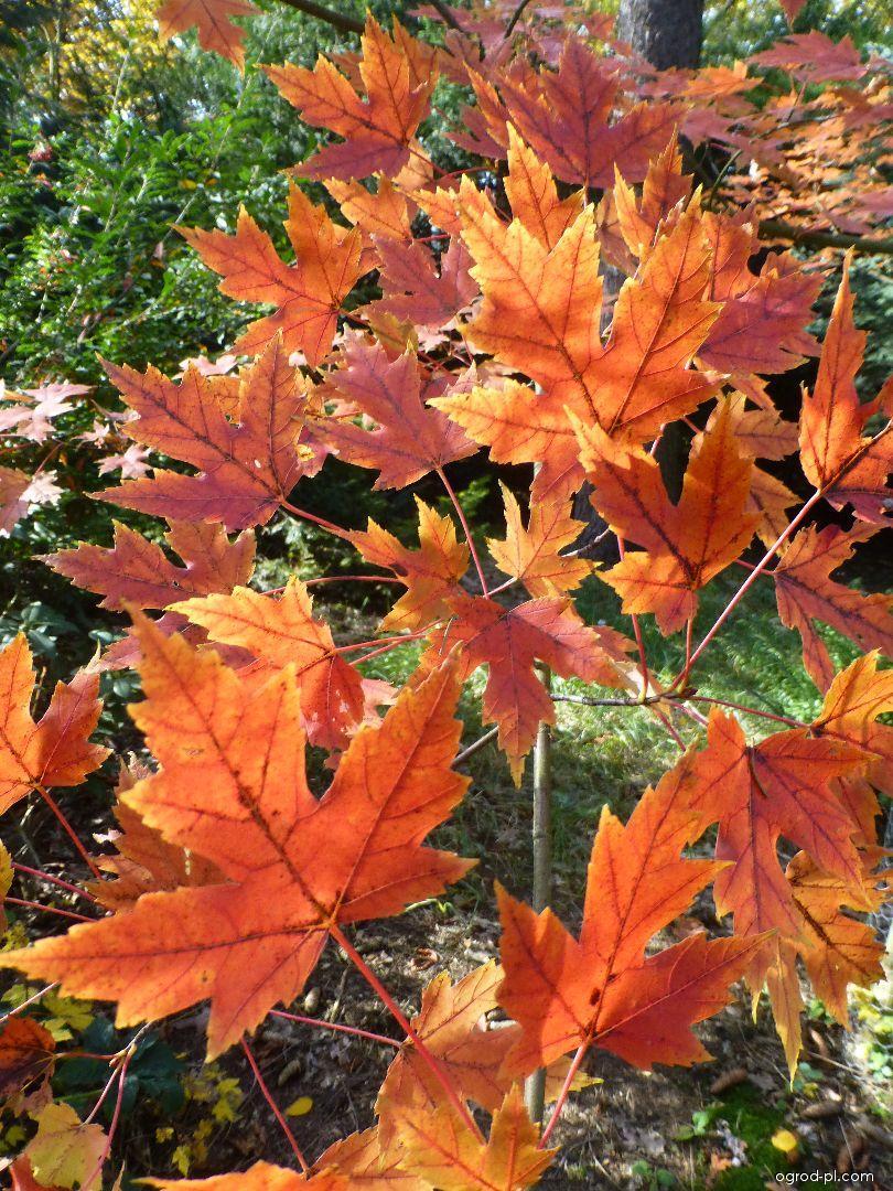 Javor Freemanův Autumn Blaze - podzimní zbarvení (Acer freemanii)