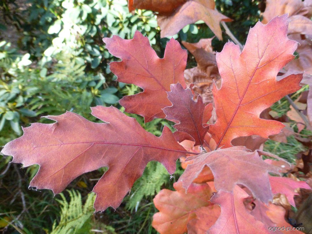 Dąb barwierski - Quercus velutina