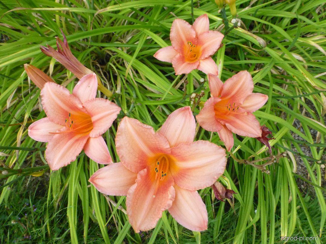 Liliowiec ogrodowy - Hemerocallis Elaine Strutt