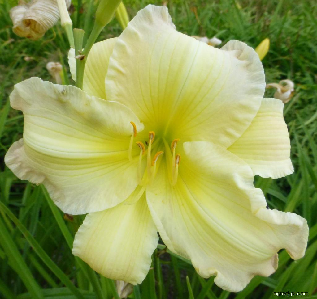 Liliowiec ogrodowy - Hemerocallis Big Smile