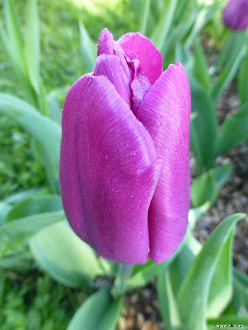 Tulipan - Tulipa Purple Prince
