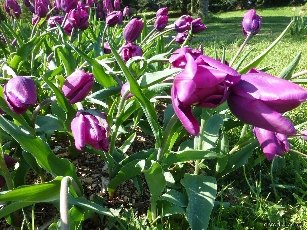 Tulipan - Tulipa Purple Rain