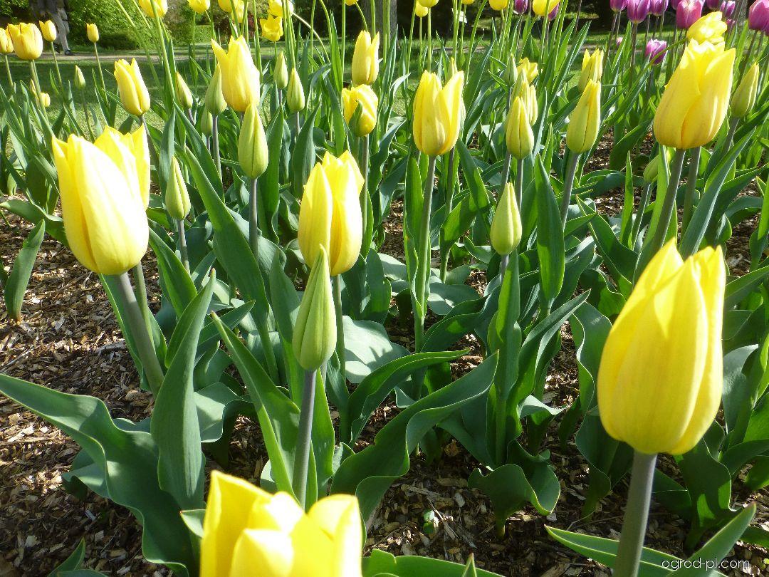Tulipan - Tulipa Strong Gold