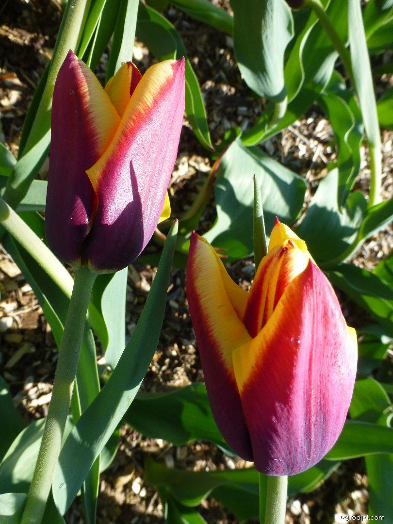 Tulipán Gavota (Tulipa x hybrida)