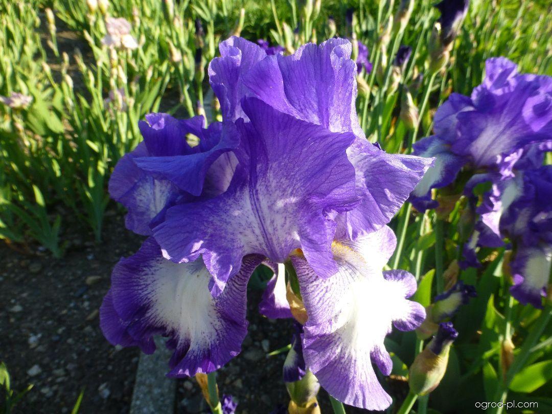 Kosaciec bródkowy - Iris barbata Rococo