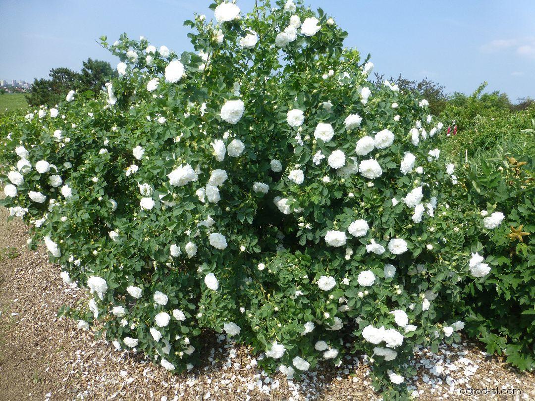 Róża - Rosa Maxima