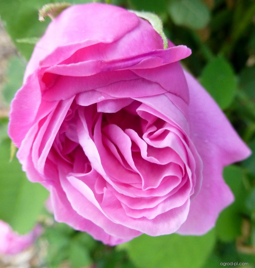 Róża - Rosa Gros Choux de Hollande