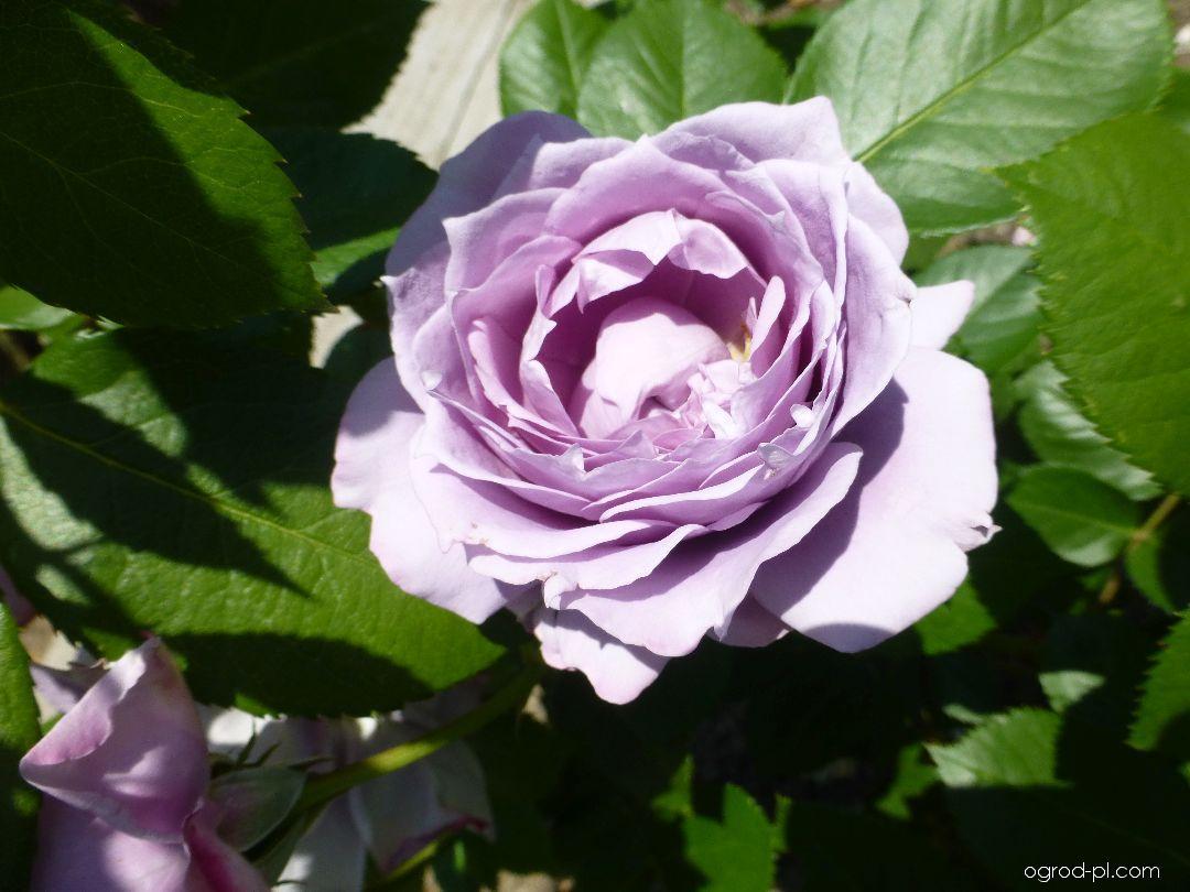 Róża - Rosa Novalis