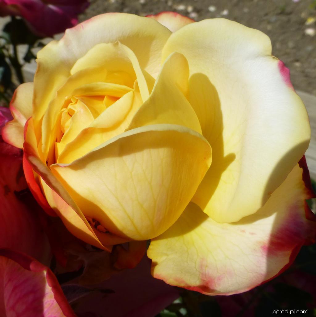Róża - Rosa Kordes Jubilee