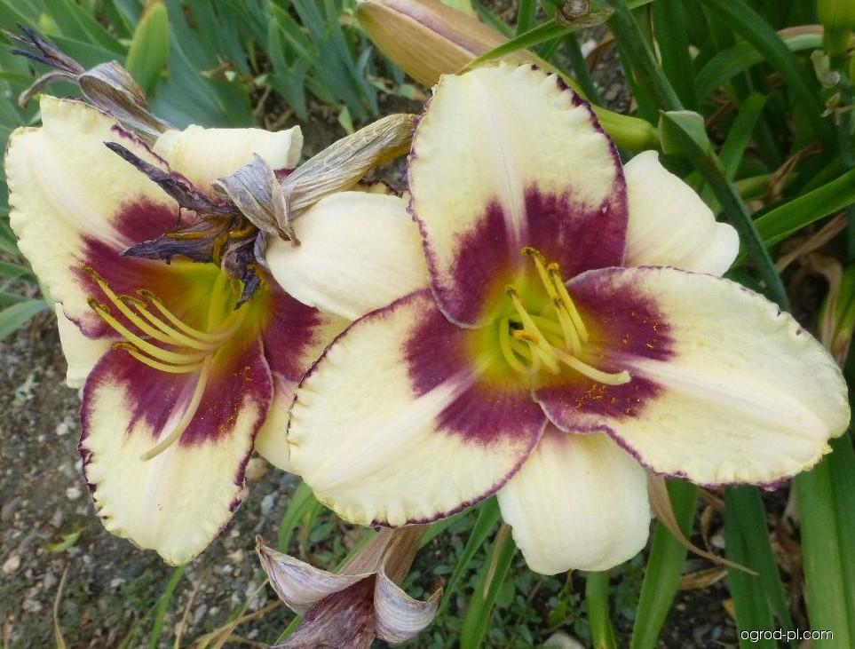 Liliowiec ogrodowy - Hemerocallis Alaqua
